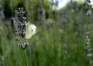 Papillon Lavande 3157