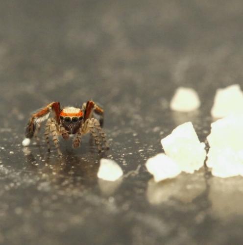 SpiderSalt
